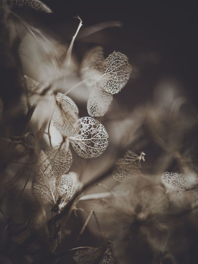 Dark and moody macro dead hydrangea skeleton Plant Growth Close-up Beauty In Nature Flower No People Selective Focus Vulnerability  Fragility Nature Flowering Plant Day Leaf Plant Part Freshness Tranquility Outdoors Petal Dry Botany Flower Head Softness Wilted Plant