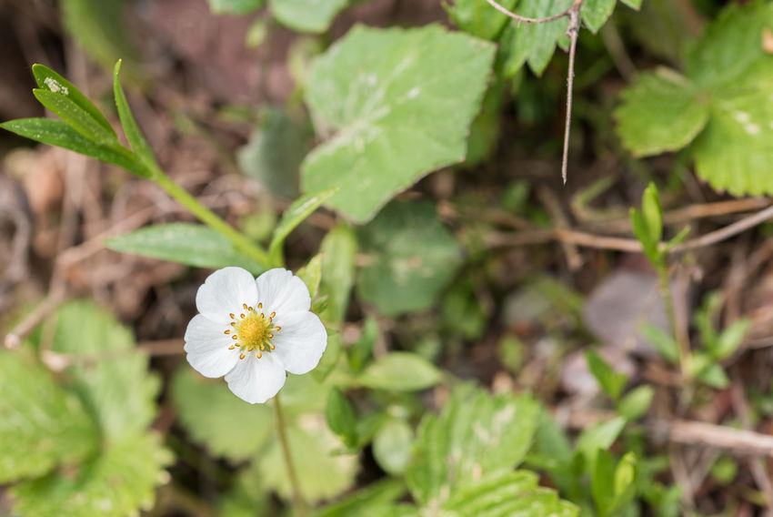 Small spring flowers in the woodsSmall spring flowers in the woods Wilderness Area Wildflower WoodLand Beauty In Nature Beauty In Nature Blossom Close-up Day Delicate Flowers Flower Flower Head Fragility Freshness Growth Nature No People Outdoors Spring Spring Flowers Vegetation Wild Wilderness Wilderness Detail Woods Woods And Color