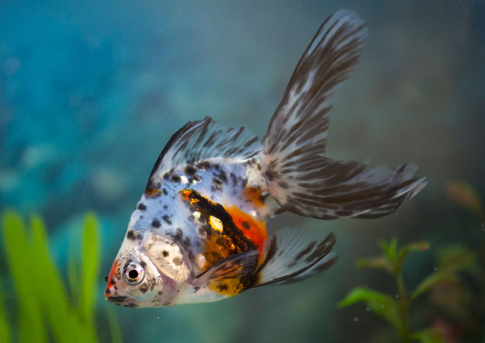 Multicolor goldfish in home tank or aquarium. Fish pets are very popular among children Animal Animal Markings Aquarium Aquarium Fish Aquarium Life Beauty In Nature Close-up Fauna Fish Pets Focus On Foreground Goldfish Hobby Natural Pattern Nature No People Orange Color Pet Pets Selective Focus