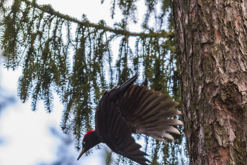A black woodpecker on a tree Nature Tree Wood Animal Animals World Bird Birdlife Black Woodpecker Branch Day Dryocopus Martius Feather  Fodder Landscape Nature No People Outdoors Peaking Plumage Searching Wildlife Woodpeckers
