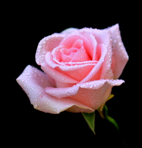 Black Background Plant Flower Studio Shot Flowering Plant Freshness Beauty In Nature Petal Close-up Vulnerability  Rosé Inflorescence Flower Head Fragility Pink Color Water Rose - Flower Nature Growth No People Outdoors Softness Dew