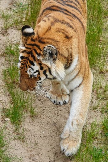 Mammal Animal Themes Tiger Feline Animal One Animal Cat Big Cat Animal Wildlife Animals In The Wild No People Vertebrate Carnivora Pets Domestic Animals Day Relaxation Nature High Angle View Whisker