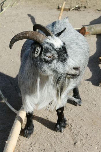 Goat in Copenhagen Zoo Goat Small Goat Fat Goat One Animal Animals Small Animals Zoo Copenhagen Zoo Animal