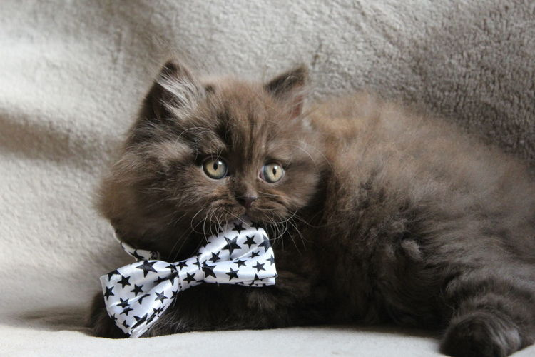 Close-up of british longhair kitten with bow tie on bed at home