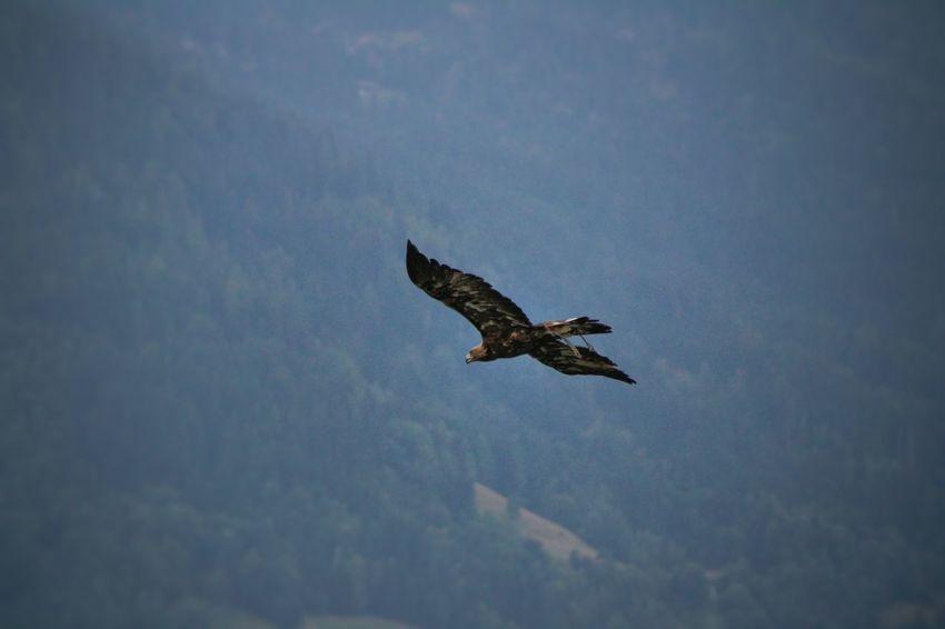 Bird Of Prey Bird Spread Wings Flying Full Length Sky Animal Themes Falcon - Bird Hawk - Bird Eagle - Bird Mid-air Energetic Animal Wing
