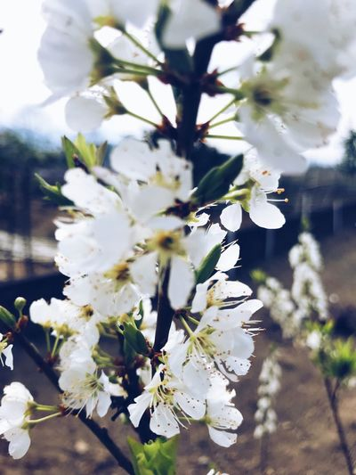 Flower Fragility White Color Blossom Apple Blossom Springtime Apple Tree Growth Freshness Beauty In Nature Petal Nature Tree Branch EyeEmNewHere