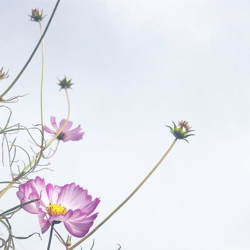 Low angle view of pink flowering plant against clear sky