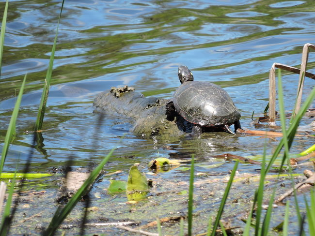 Animal Themes Animal Wildlife Animals In The Wild Beauty In Nature Bird Black Swan Day Lake Nature No People One Animal Outdoors Reflection Reptile Sunbathing☀ Swimming Turtle Cuteness Water Water Bird Wildlife