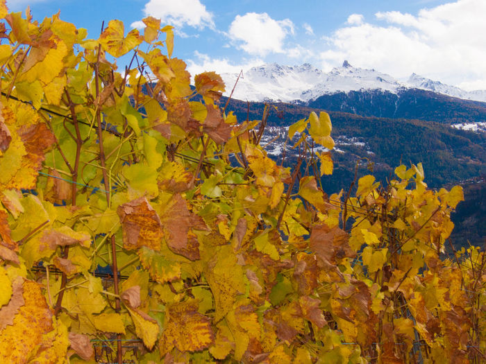 Vines Growing Against Mountains During Winter