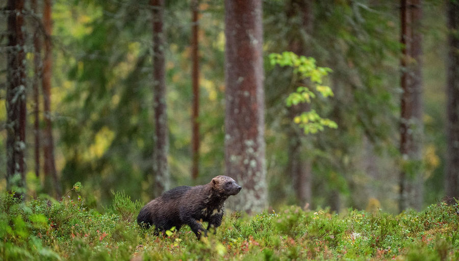 Wolverine in wild nature. Natural habitat. Glutton, carcajou, skunk bear, or quickhatch (gulo gulo) Animal Wildlife Animal Animal Themes Animals In The Wild Plant One Animal Mammal Land Nature Vertebrate No People Day Outdoors Green Color Wolverine Wildlife Wild Gulo Gulo Forest Nature Fauna Natural Habitat Taiga Adult Fall