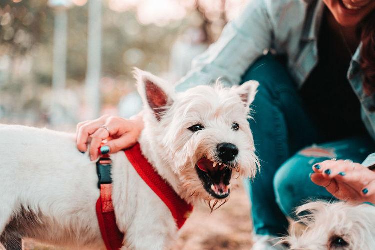 Happy west hightland white terrier
