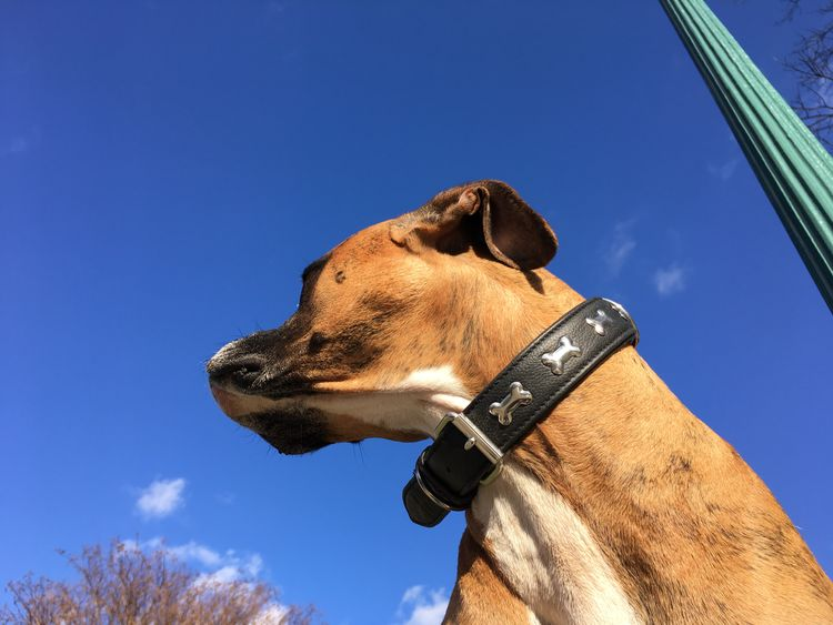 boxer dog face against blue sky background Autumn Boxer Dog Animal Themes Blue Sky Brindle Butch Day Dog Dog Head Shot Domestic Animals Mammal Nature No People One Animal Outdoors Park Pets Sky Tough Urban