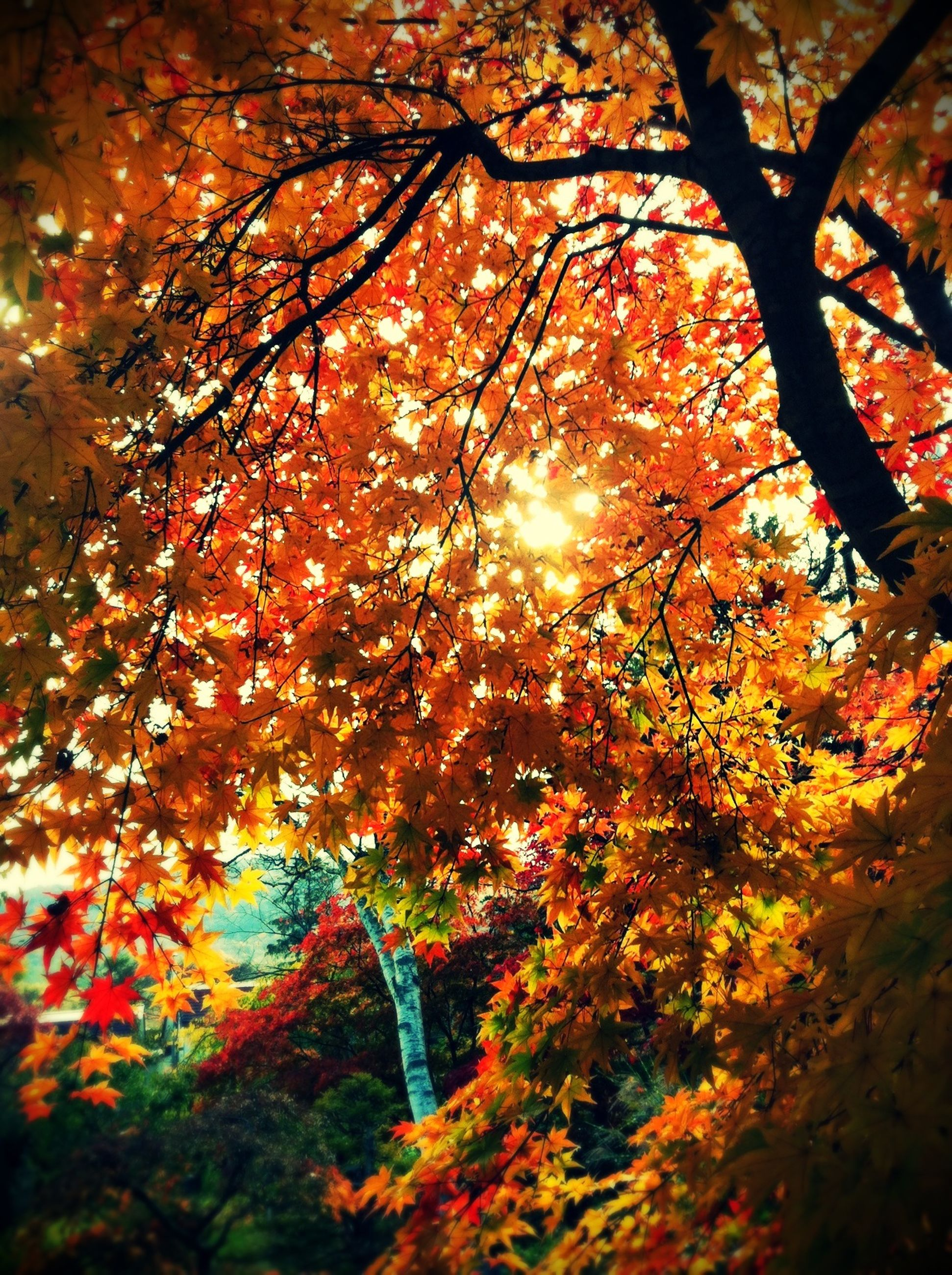 tree, branch, autumn, growth, nature, tranquility, beauty in nature, sunlight, sun, change, season, low angle view, sunbeam, orange color, lens flare, scenics, tranquil scene, leaf, outdoors, no people