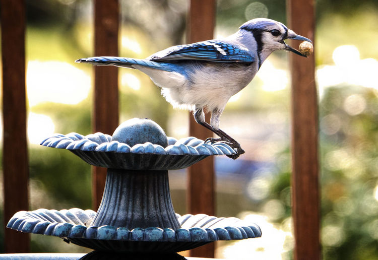 Close-up of blue jay perching on ornate