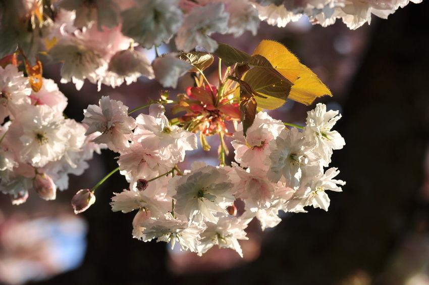 Cherry Blossoms Low Angle View Sakura Blooming Flower Blue Sky And Clouds Flower Head Garden Prunus Serrulata Shirofugen