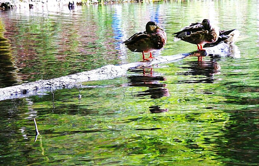 Standing Water Branch Calm Water Lake Reflection Beauty In Nature Nature Outdoors Majestic Beautiful Nature Duck Ducks Animals Animal Animal Photography Animal Love Animal In Nature Eyeemphoto EyeEm Zanxy98