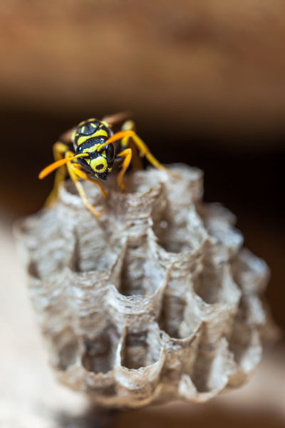 Paper Wasp building Nest Macro Photography Nesting Paper Wasp Animal Themes Animal Wildlife Animals In The Wild Close-up Day Insect Macro Nature Nest No People Oculii One Animal Outdoors Paper Wasp Nest