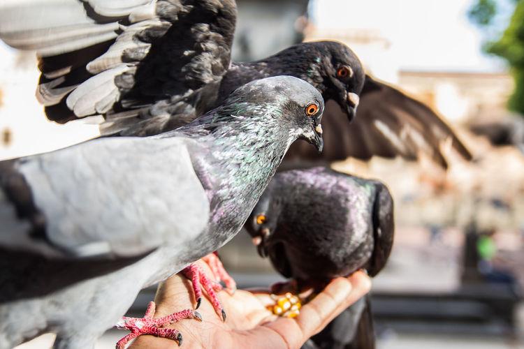 Close-up of pigeon feeding