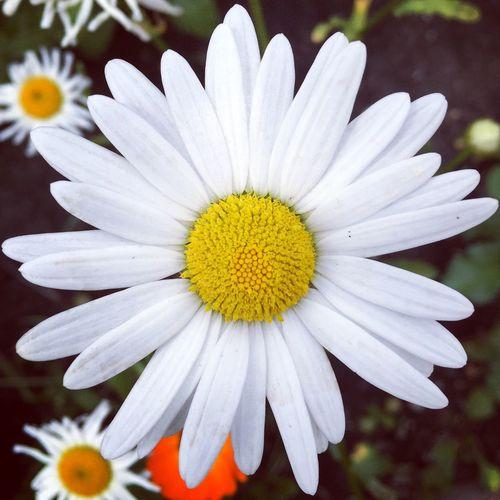 High angle close-up of daisy blooming at park