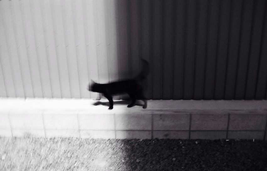 BLackCat Light And Shadow Lone Walker Blackandwhite