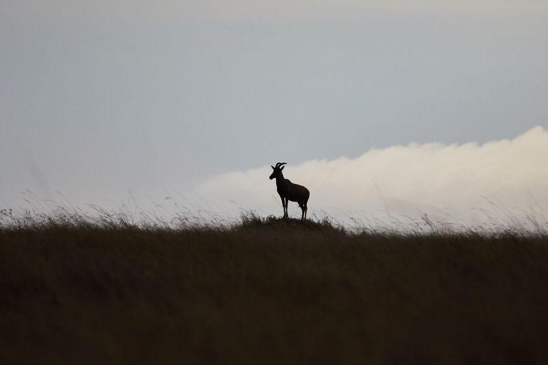 Topi in silhouette on a hill in masai mara