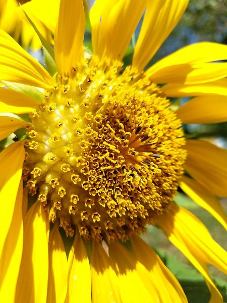 SunFlower Close up Flower Yellow Petal Flower Head Plant Nature Growth Beauty In Nature Close-up Botany Sunflower EyeEmNewHere Pollen Freshness Flower Collection