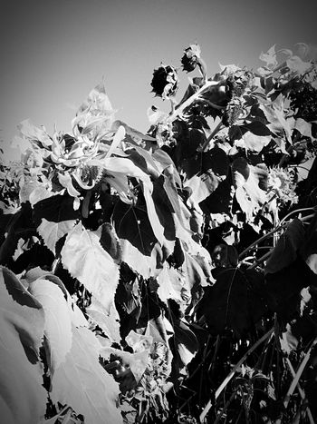 More wilting sunflowers B&w Sunflowers Field Nature Fall Abstract Sun Learn & Shoot: Single Light Source