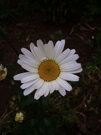 Flower Petal Flower Head Fragility Nature White Color Pollen Beauty In Nature Growth Blooming Plant No People Focus On Foreground Close-up Outdoors Day Osteospermum The Great Outdoors - 2017 EyeEm Awards