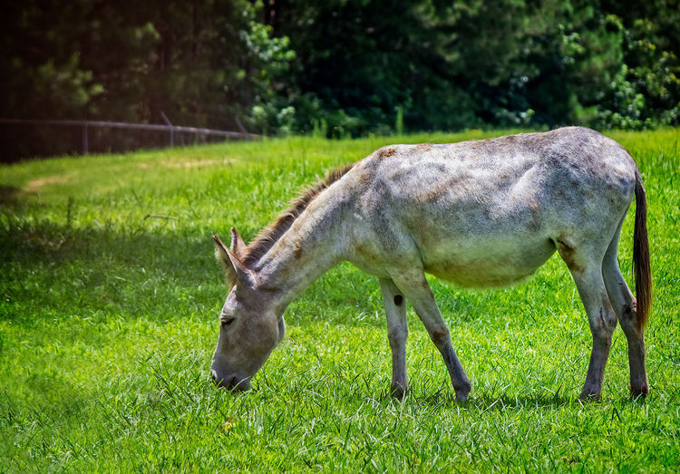Donkey Grazing Animal Animal Themes Animal Wildlife Animals In The Wild Day Domestic Animals Donkey Donkey Grazing Field Grass Grazing Green Color Land Livestock Mammal Nature No People One Animal Outdoors