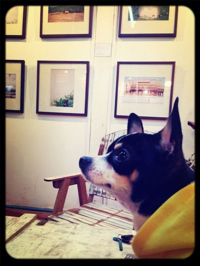 Chihuahua I Love My Dog