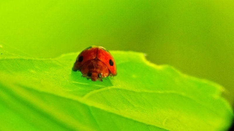 Bug #insects #photography #leaf Animal Antenna Ladybug Tiny Flower Head Leaf Vein Grasshopper Animals Mating