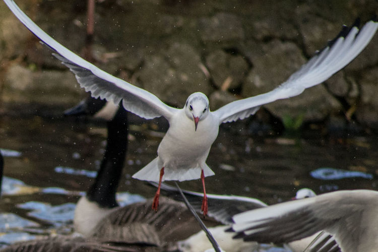 Close-up of seagull with wings spread