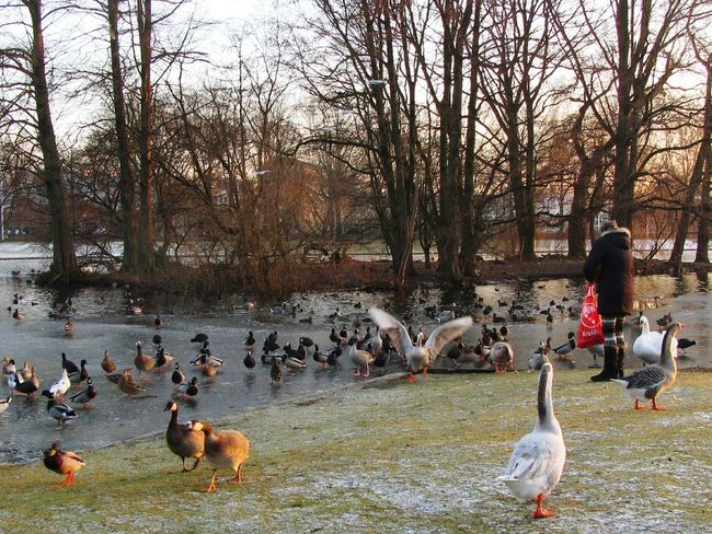 Feeding The Birds Outdoors Lake Ducks Moorhens Water Fowl Birds Water Seagulls Swan Geese Wintertime Ice Frost Island Trees Sunshine Sunday Afternoon At The Park Warande Helmond Woman