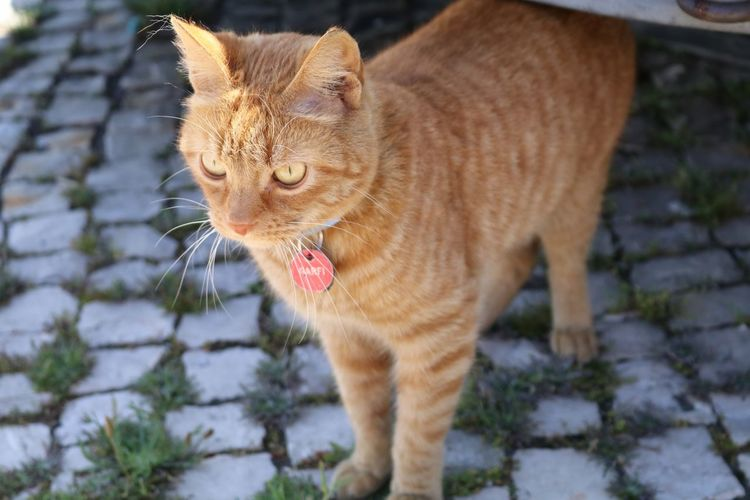 Cat looking away while standing on cobbled street