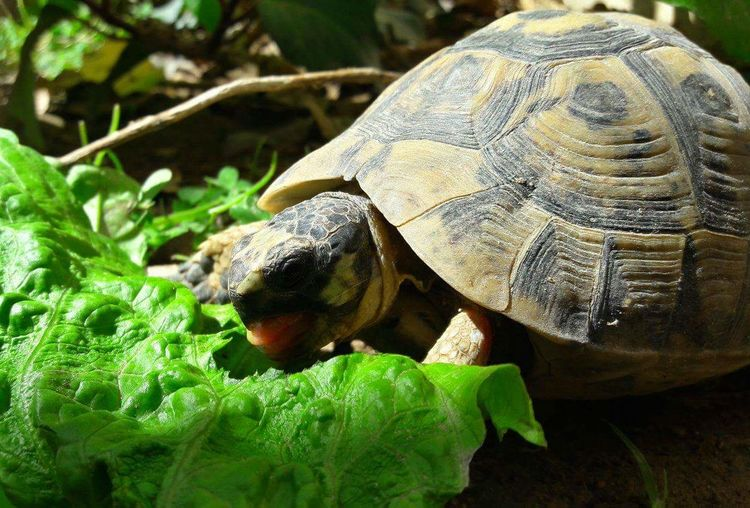 Smartphonephotography One Animal Tunisia <3 Animals In The Wild Animal Themes Outdoors Close-up Nature Grass No People Tortoise Animal Wildlife Reptile Animal Scale Animal Turtle 🐢 Turtles Green Grass Printemps 🌼 Spring Day Tortoise Shell Random Photo Time Sun ☀