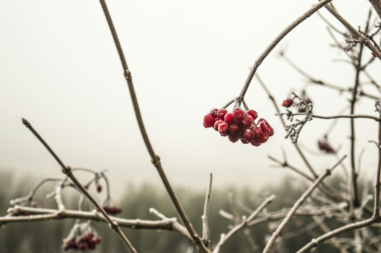Frozen Red Berries On Bare Tree Against Sky