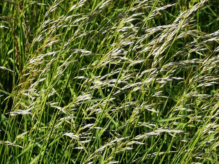 Weed - Background Backgrounds Background First Eyeem Photo Cereal Plant Wheat Rural Scene Backgrounds Ear Of Wheat Agriculture Full Frame Rice Paddy Field Crop  Farmland Bale  Straw Grain Haystack Hay Corn - Crop Growing Corn Blade Of Grass Oat - Crop Stalk