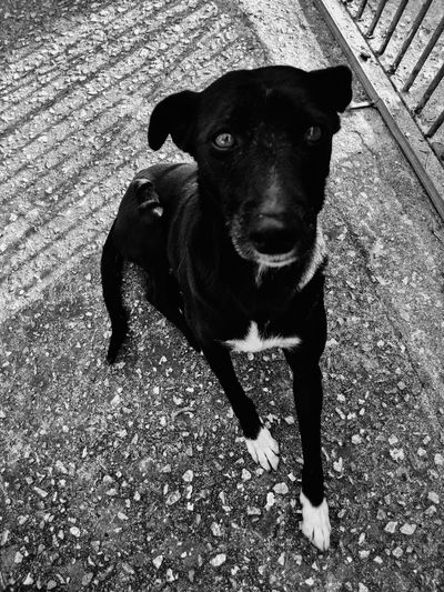Portrait of black dog standing on floor