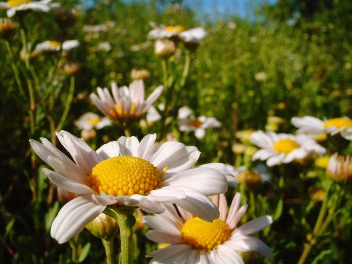 Flower Petal Growth Nature White Color Beauty In Nature Focus On Foreground Flower Head Blooming Plant Fragility Pollen Outdoors Day Freshness No People Close-up Yellow Grass I Want To Know Your Secret, C I Always Thinking About U, G Thank You,❤️ 감사합니다