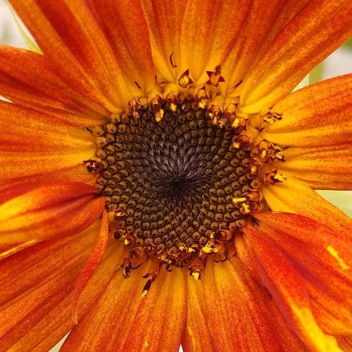 Sunflower Bloom Sun Flower Orange EyeEm Best Shots EyeEm Nature Lover EyeEm Gallery Flower Backgrounds Full Frame Petal Pollen Stamen Springtime Botany Plant Life In Bloom Blossom Blooming