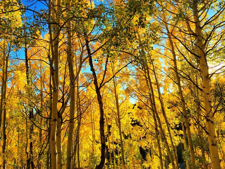 Yellow Low Angle View Tree Tree Trunk Forest Autumn Change Tranquility Growth Nature Scenics Beauty In Nature Branch Tranquil Scene WoodLand Tall - High Day Tall Majestic Outdoors Colorado Rocky Mountains Cripple Creek