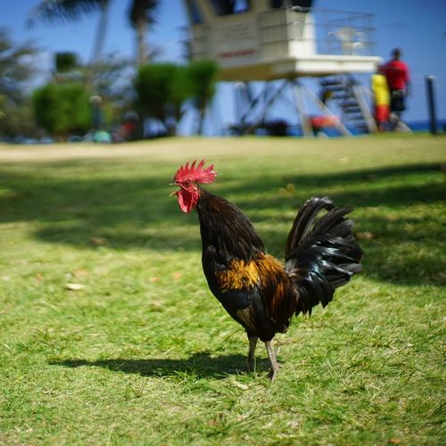 Animal Crest Animal Themes Beach Bird Chicken - Bird Cockerel Day Domestic Animals Field Grass Livestock Nature No People One Animal Outdoors Rooster