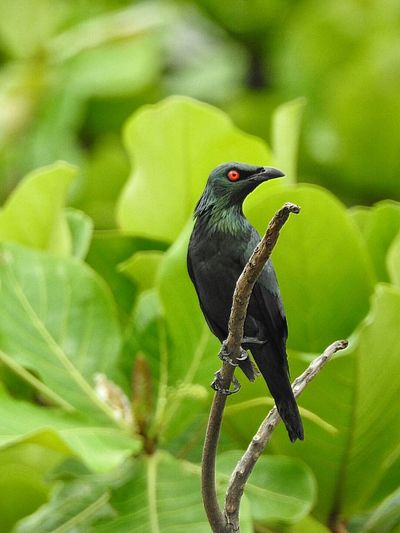 Close-up of asian glossy starling perching on branch