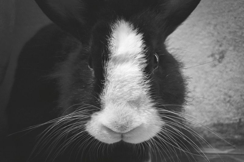 Close-up zoom rabbit face portrait in monochrome Rabbit Portrait Animal Nose Rabbit Monochrome Close-up Exotic Pets Animal Ear Animal Face At Home Animal Mouth Animal Eye Animal Head  Adult Animal
