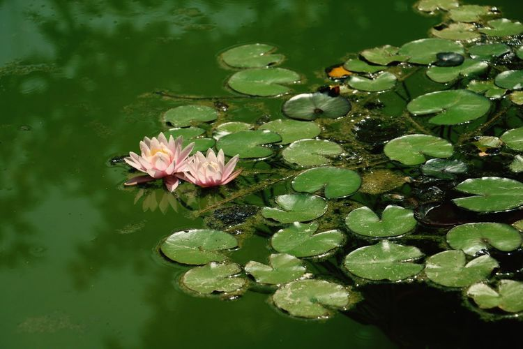 Waterlily Beautufulwiew Lily Flower Lily