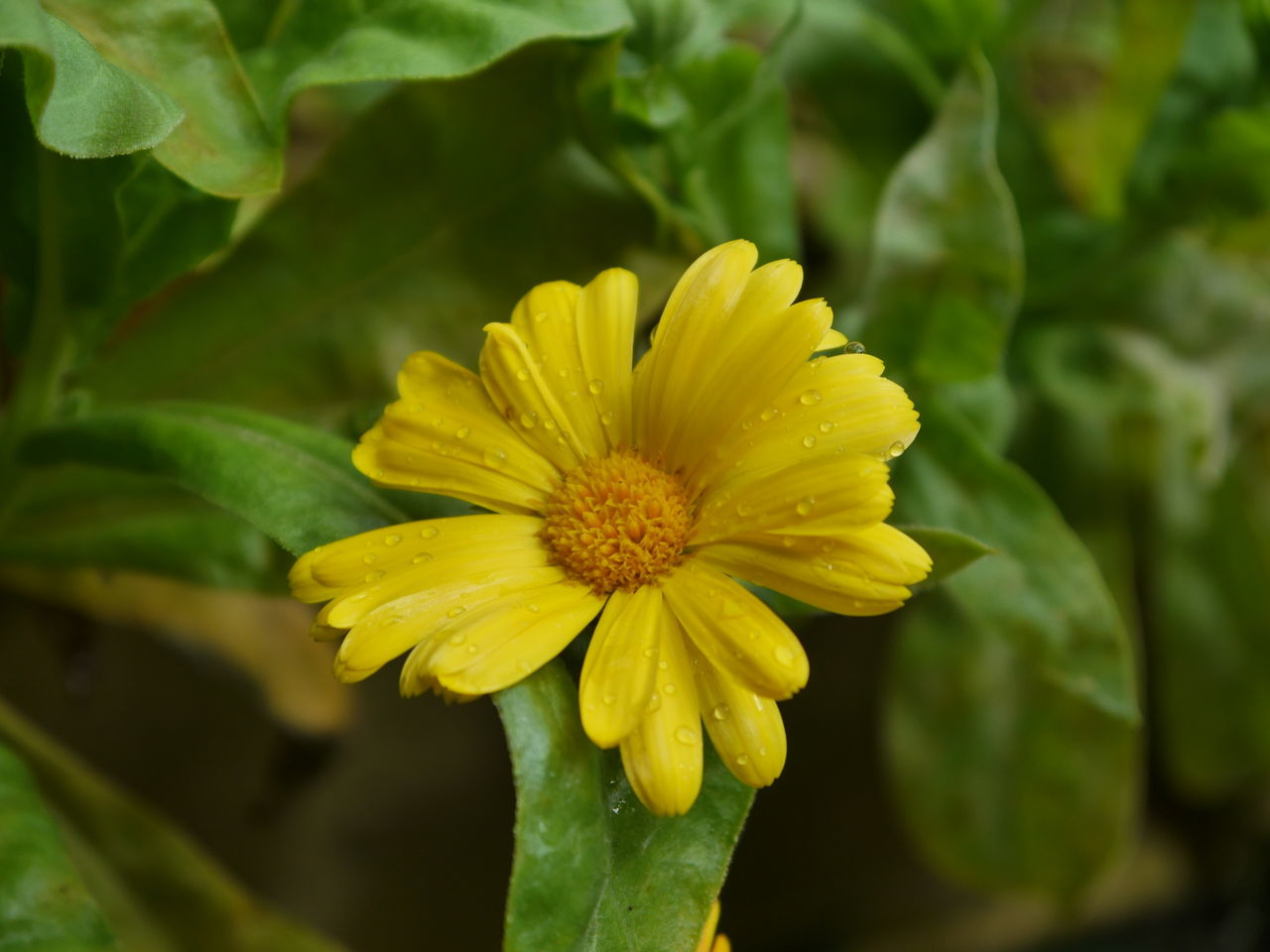 Close-Up Of Yellow Flower Growing Outdoors