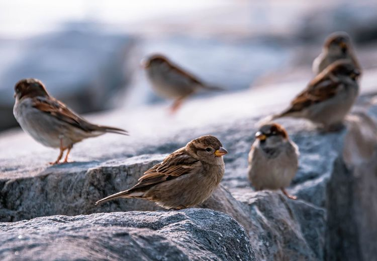 Flock of sparrows on rock