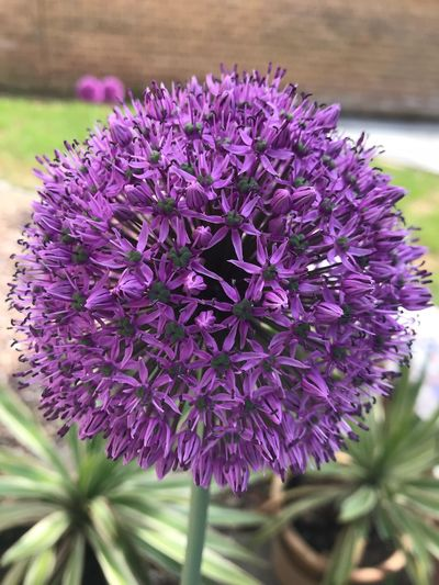 Large Alium Flowerhead Flowering Plant Flower Plant Purple Freshness Vulnerability  Fragility Beauty In Nature Growth Inflorescence Flower Head Nature Focus On Foreground No People Close-up Blossom Selective Focus
