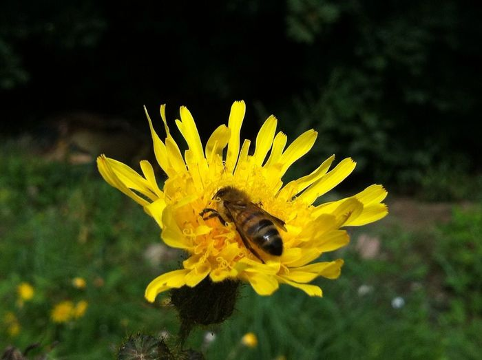 🌼🐝 Bee On The Flower Flower Bee Yellow Flower Nature EyeEm Best Shots - Nature Flower Head Bees And Flowers Bee 🐝 Jopesfotos - Nature