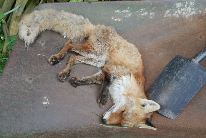Accidents And Disasters Animal Themes Animal Wildlife Animals In The Wild Close-up Day Dead Dead Animal Dead Animals Dead Life Death Dog Domestic Animals Fox High Angle View Lying Down Mammal Nature No People One Animal Outdoors Relaxation